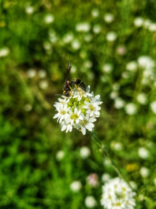 Hoary alyssum flower essence