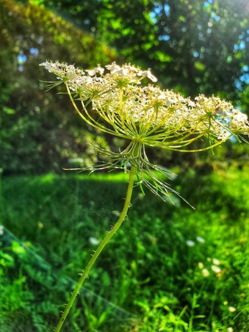Queen Anne's Lace flower essence