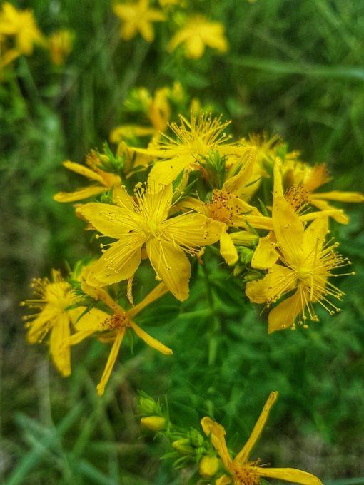 St John's Wort flower essence