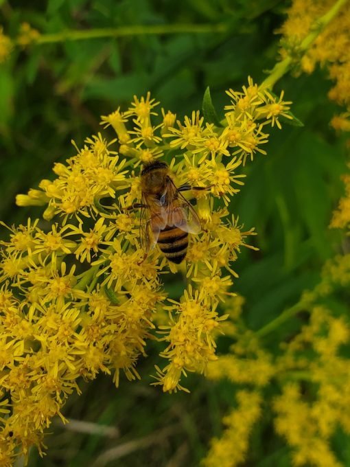 Goldenrod flower essence