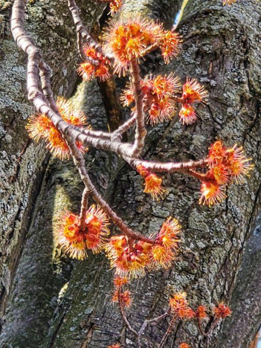 Red Maple flower essence